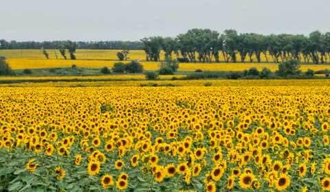 поле,подсолнух,лето,желтый,вдаль